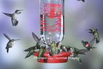 01162-086.04 Ruby-throated Hummingbirds (Archilochus colubris) at Best One Hummer Feeder Shelby Co.  IL