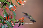 01162-093.19 Ruby-throated Hummingbird (Archilochus colubris) male at Cigar Plant (Cuphea ignea)  Shelby Co. IL