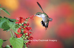 01162-106.17 Ruby-throated Hummingbird (Archilochus colubris) on Scarlet Sage (Salvia coccinea) Marion Co. IL