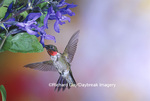 01162-111.02 Ruby-throated Hummingbird (Archilochus colubris) male on Black & Blue Salvia (Salvia guaranitica 'Black & Blue')  IL