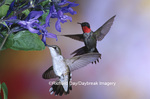 01162-11305 Ruby-throated Hummingbirds (Archilochus colubris)  on Black & Blue Salvia (Salvia guaranitica 'Black & Blue')  IL