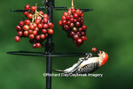 01196-025.20 Red-bellied Woodpecker (Melanerpes carolinus) female eating grapes at feeder Marion Co. IL