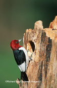 01197-002.20 Red-headed Woodpecker (Melanerpes erythrocephalus) at nest site   IL