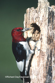 01197-01001 Red-headed Woodpecker (Melanerpes erythrocephalus) with food at nest site   IL
