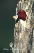 01197-006.03 Red-headed Woodpecker (Melanerpes erythrocephalus) removing shavings from cavity   IL