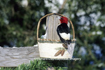 01197-032.19 Red-headed Woodpecker (Melanerpes erythrocephalus) eating from birch basket feeder, Marion Co IL