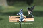 01288-01419 Blue Jays (Cyanocitta cristata) on tray feeder fighting  Marion Co.  IL