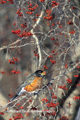 01382-01504  American Robin (Turdus migratorius) eating hawthorn berry Sangamon Co.  IL