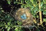 01382-02511 American Robin (Turdus migratorius) nest with 4 eggs in holly bush, Marion Co.  IL