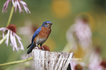 01377-154.17 Eastern Bluebird (Sialia sialis) male on fence post in flower garden, Marion Co. IL