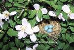 01382-04418 American Robin (Turdus migratorius) nest with 3 eggs in Pink Perfection Clematis (Clematis montana 'Pink Perfection')   IL