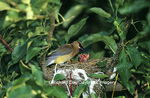 01415-01510 Cedar Waxwing (Bombycilla cedrorum) feeding nestlings (approx. 7 days old) in Apple tree  Marion Co.  IL