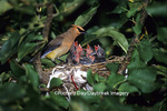 01415-01715 Cedar Waxwing (Bombycilla cedrorum) feeding nestlings (approx. 12 days old) in Apple tree  Marion Co.  IL