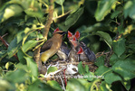 01415-02108 Cedar Waxwing (Bombycilla cedrorum) feeding nestlings (approx. 14 days old) in apple tree Marion Co.  IL