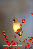 01415-02115 Cedar Waxwing (Bombycilla cedrorum) in Common Winterberry (Ilex verticillata) Marion Co. IL