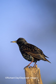 01432-00214 European Starling (Sturnus vulgaris) Marion Co.   IL