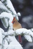 01530-13315 Northern Cardinal (Cardinalis cardinalis) female in Fir tree in winter  Marion Co.  IL