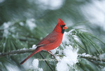 01530-16510 Northern Cardinal (Cardinalis cardinalis) male in pine tree in winter, Marion Co. IL