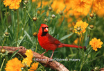 01530-170.08 Northern Cardinal (Cardinalis cardinalis) male in flower garden near Lance-leaved Coreopsis (Coreposis lanceolata) Marion Co. IL