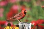 01530-171.20 Northern Cardinal (Cardinalis cardinalis) male on fence post near flower garden, Marion Co. IL