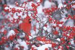 01530-175.14 Northern Cardinal (Cardinalis cardinalis) male in Common Winterberry (Ilex verticillata) in winter Marion Co. IL