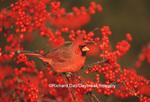 01530-178.07 Northern Cardinal (Cardinalis cardinalis) male in Common Winterberry (Ilex verticillata) Marion Co. IL