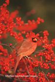 01530-178.19 Northern Cardinal (Cardinalis cardinalis) male in Common Winterberry (Ilex verticillata) Marion Co. IL
