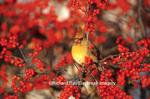 01530-179.18 Northern Cardinal (Cardinalis cardinalis) female in Common Winterberry (Ilex verticillata) Marion Co. IL