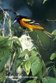 01611-00720 Baltimore Oriole (Icterus galbula) male at nest    IL