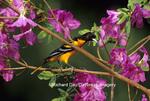 01611-036.19 Baltimore Oriole (Icterus galbula) male on Azalea bush,  Marion Co.  IL