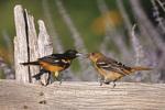01611-05808 Baltimore Orioles (Icterus galbula) male feeding fledgling on fence near flower garden  Marion Co.  lL
