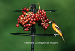 01611-049.11 Baltimore Oriole (Icterus galbula) female eating grapes at feeder Marion Co.  IL
