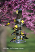 01640-13420 American Goldfinches (Carduelis tristis) on nyjer/thistle tube feeder in Redbud tree Marion Co. IL
