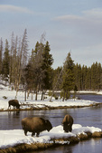 01985-00708 Bison (Bison bison) along river in winter Yellowstone NP   WY