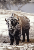 01985-013.15 Bison (Bison bison) covered with frost Yellowstone NP   WY