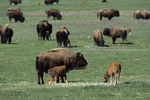 01985-019.03 Bison (Bison bison) adult with calves Yellowstone NP   WY