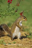 02010-00317 Gray Squirrel (Sciurus carolinensis) near flower garden Marion Co IL