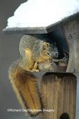 02013-004.17 Fox Squirrel (Sciurus niger) at bird feeder Marion Co.   IL