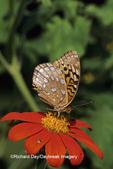 03322-00607 Great Spangled Fritillary (Speyeria cybele) on Mexican Sunflower (Tithonia rotundifolia