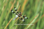 06625-00205 Twelve-spotted Skimmer (Libellula pulchella) male in wetland, Marion Co. IL