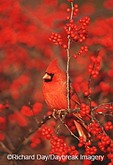 01530-179.03 Northern Cardinal (Cardinalis cardinalis) male in Common Winterberry (Ilex verticillata) Marion Co. IL