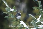 01569-012.16 Junco hyemalisDark-eyed Junco (Junco hyemalis) in fir tree in winter Marion Co.  IL
