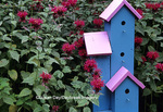 63821-187.15 Pink & blue bird house by Raspberry Wine Bee Balm (Monarda didyma)  Marion Co. IL