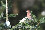 01643-013.13 House Finch (Carpodacus mexicanus) male in fir tree in winter Marion Co. IL