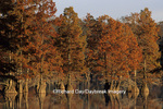 63895-08404 Cypress trees in fall Horseshoe Lake Convervation Area Alexander Co.   IL