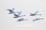 00758-01607 Trumpeter Swans (Cygnus buccinator) in flight, Riverlands Migratory Bird Sanctuary, West Alton, MO