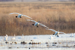 00758-01615 Trumpeter Swans (Cygnus buccinator) flying to wetland, Riverlands Migratory Bird Sanctuary, West Alton, MO