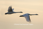 00758-01616 Trumpeter Swans (Cygnus buccinator) flying to wetland, Riverlands Migratory Bird Sanctuary, West Alton, MO