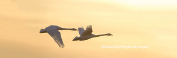 00758-01803 Trumpeter Swans in flight at sunset, Riverlands Migratory Bird Sanctuary, West Alton, MO