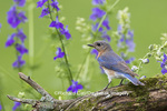 01377-17805 Eastern Bluebird (Sialia sialis) female in flower garden, Marion Co., IL